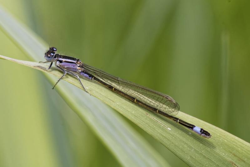 Ischnura elegans Ischnu12
