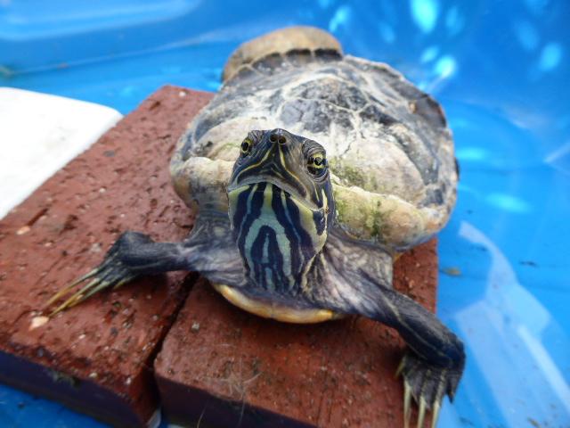Une idée de l'espèce de cette tortue? 2016-012