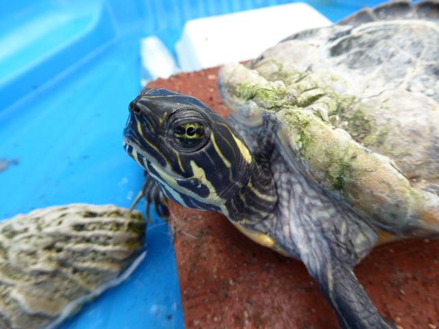 Une idée de l'espèce de cette tortue? 2016-013