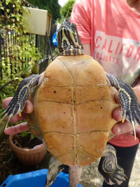 Une idée de l'espèce de cette tortue? 2016-014