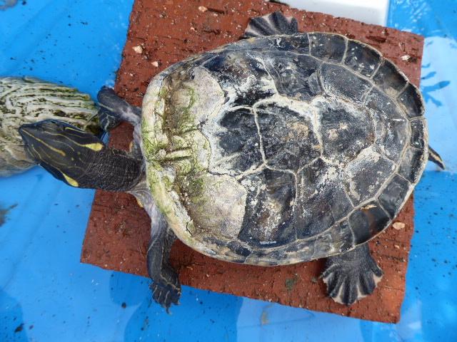 Une idée de l'espèce de cette tortue? 2016-017