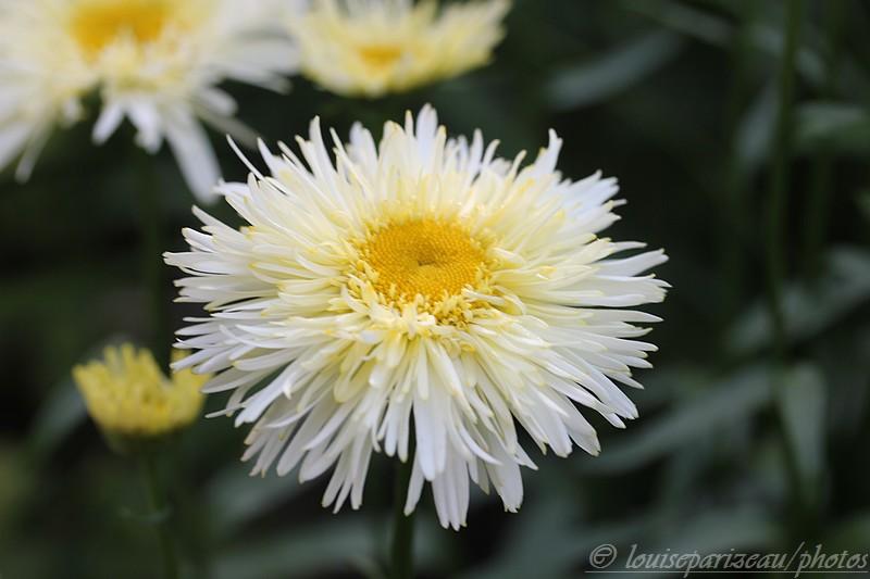 Leucanthemum Goldrausch ... c'est l'intruse Img_3513