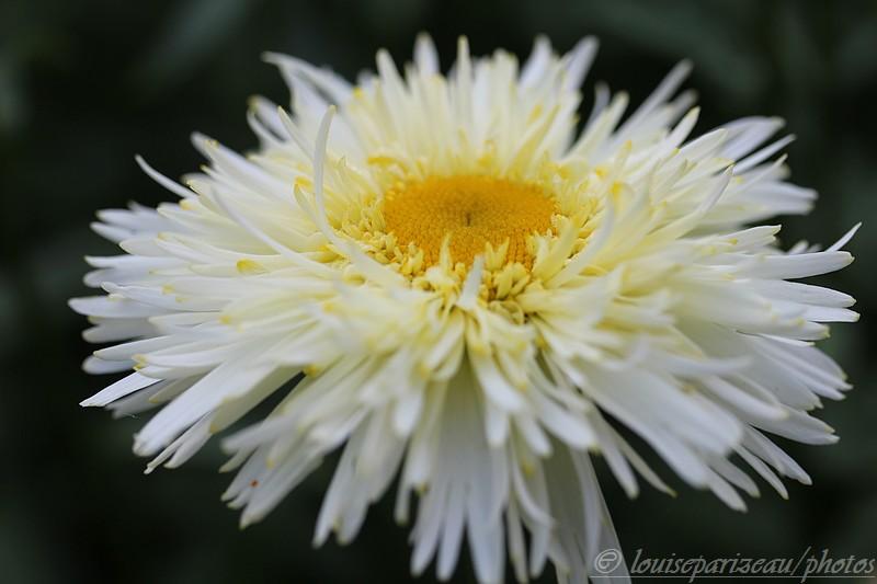 Leucanthemum Goldrausch ... c'est l'intruse Img_3514