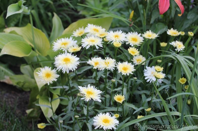 Leucanthemum Goldrausch ... c'est l'intruse Img_3515