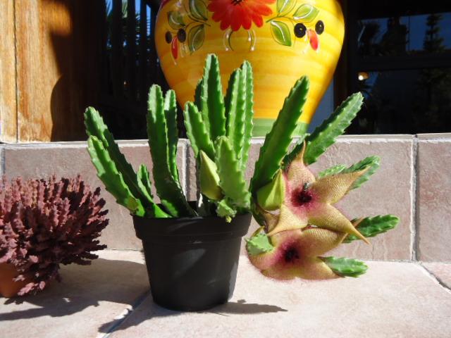 Stapelia grandiflora Dsc00939