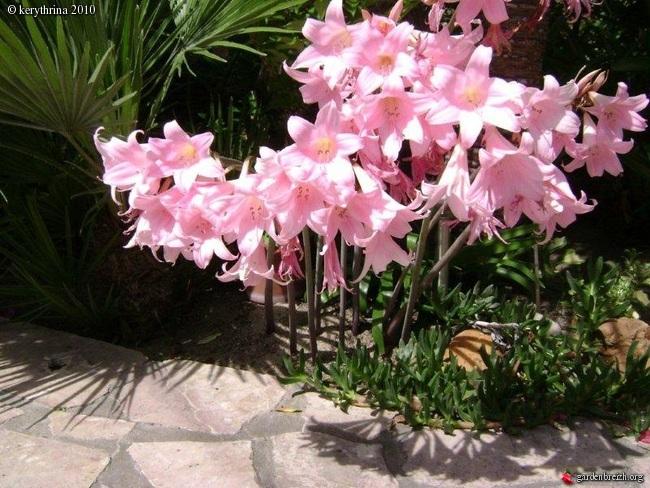 Amaryllis (hippeastrum) -culture, entretien, floraison - Page 2 Gbpix_21