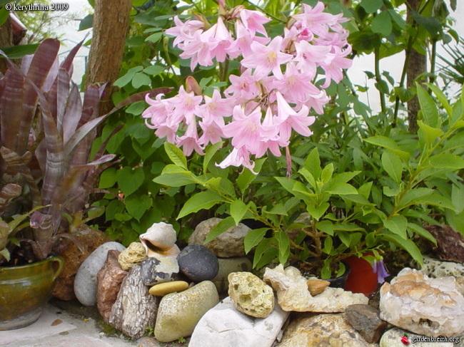 Amaryllis (hippeastrum) -culture, entretien, floraison - Page 2 Gbpix_22