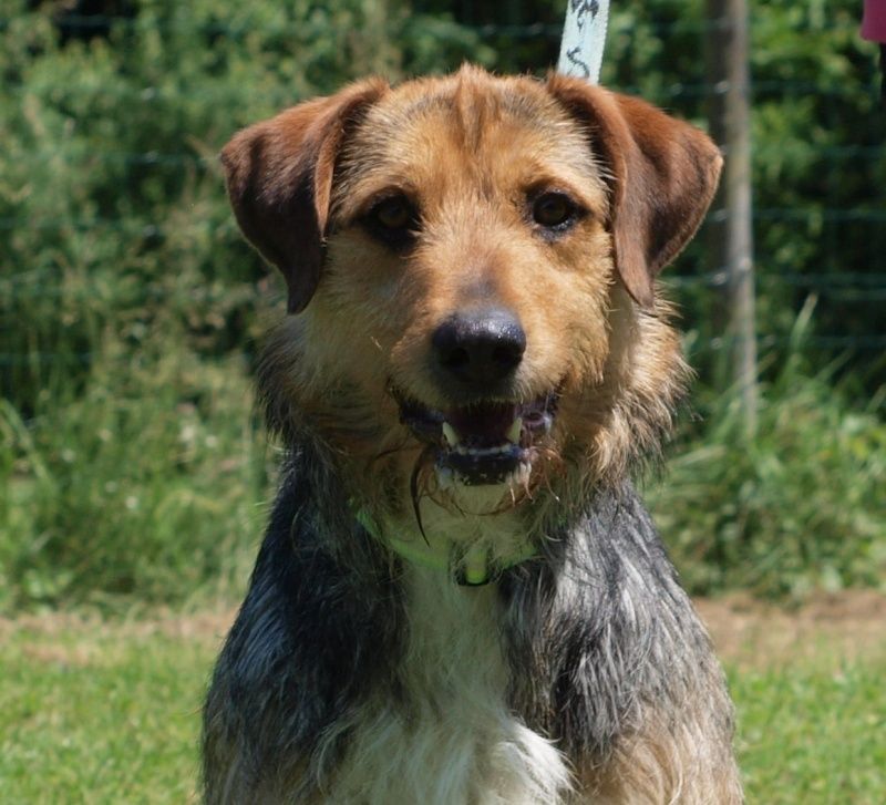 THEO, gentil Fox Terrier de 1 an et 9 mois (dept 82 Haute-Garonne) Theo10