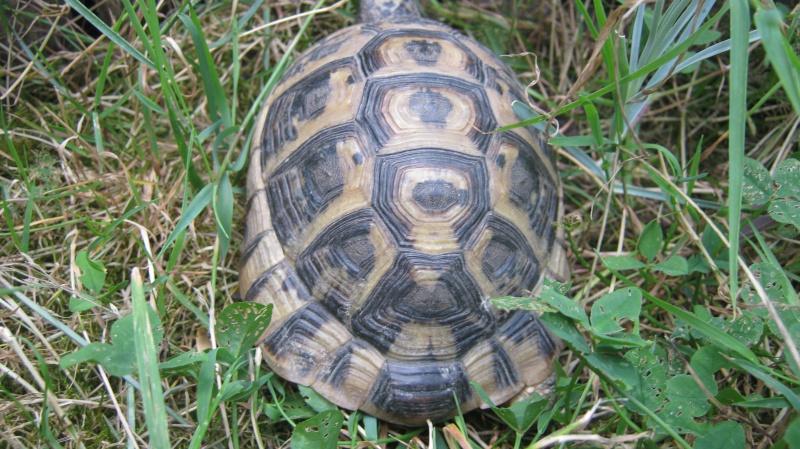 identification tortue trouvé Frankl10