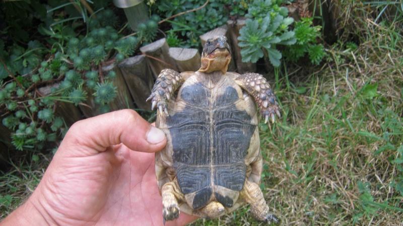 identification tortue trouvé Frankl11