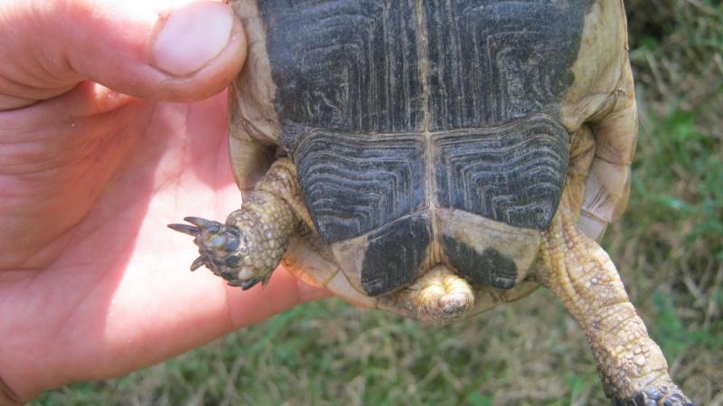 identification tortue trouvé Frankl12