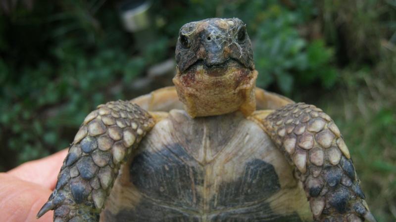 identification tortue trouvé Frankl13