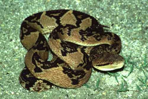 """Quizz Snake [Lachesis Mutus - Trouvé par Personne""""] Gd10"""