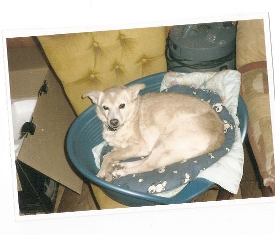 Recherche FA définitive pour chienne de 14 ans Okia10