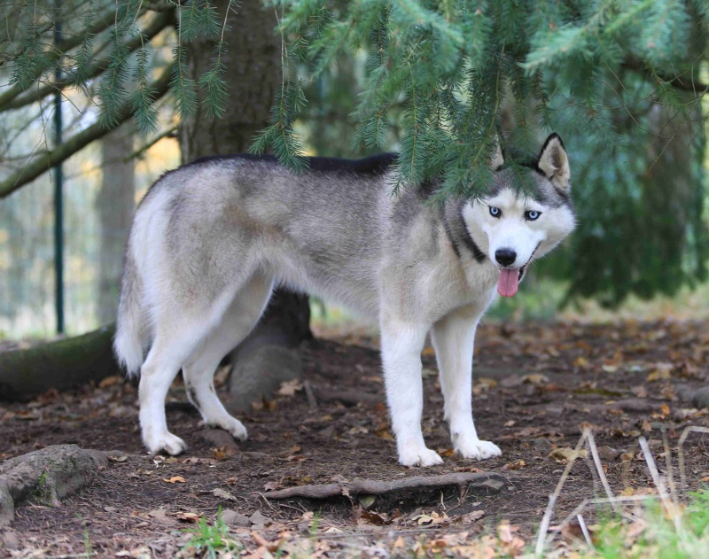 Fiona femelle husky lof de 3ans sterilisée en danger de mort éminente (14) ADOPTEE C1010