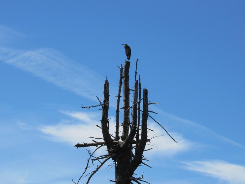 Grand héron trônant sur son arbre! Image29