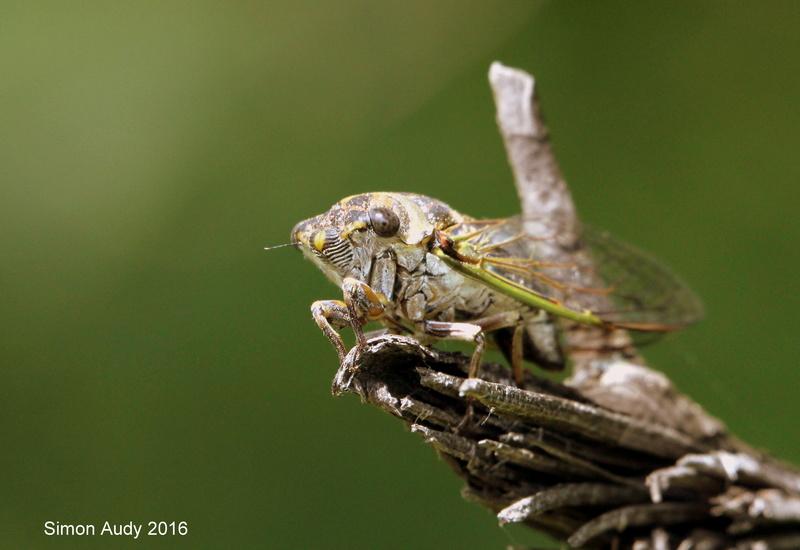 Cigale! Image33