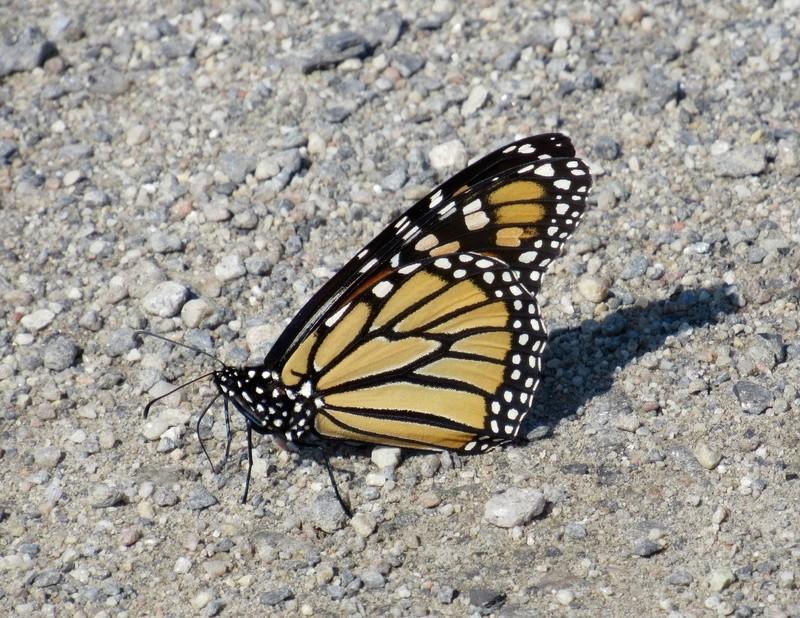 Une rareté... Le papillon monarque! Image46