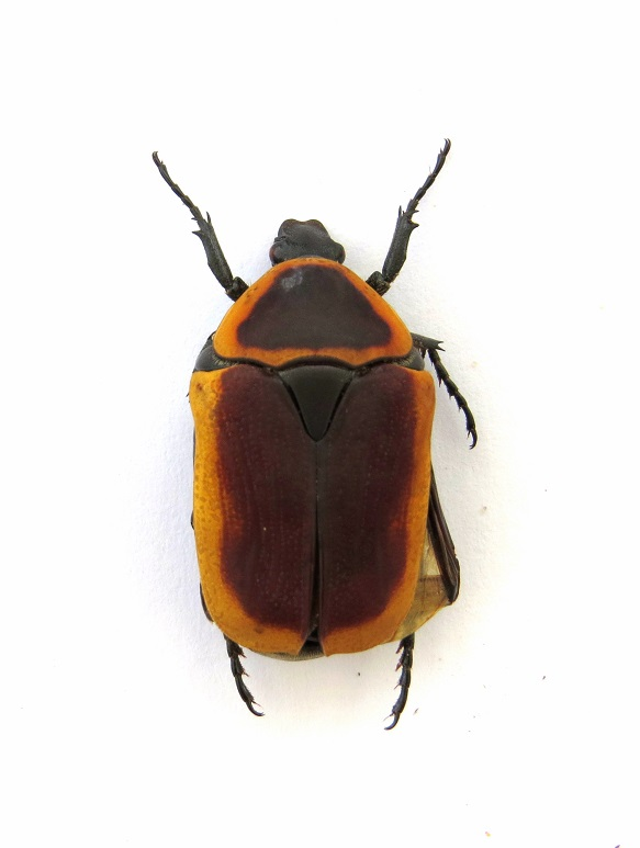 Pachnoda savigny Gory et Percheron 1833 ssp. consentanea Schaum - Page 2 Img_0010