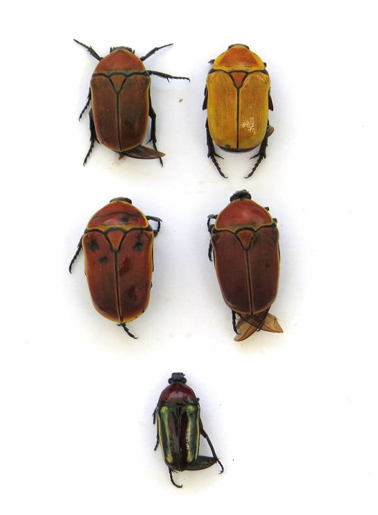 Pachnoda savigny Gory et Percheron 1833 ssp. consentanea Schaum Img_0018