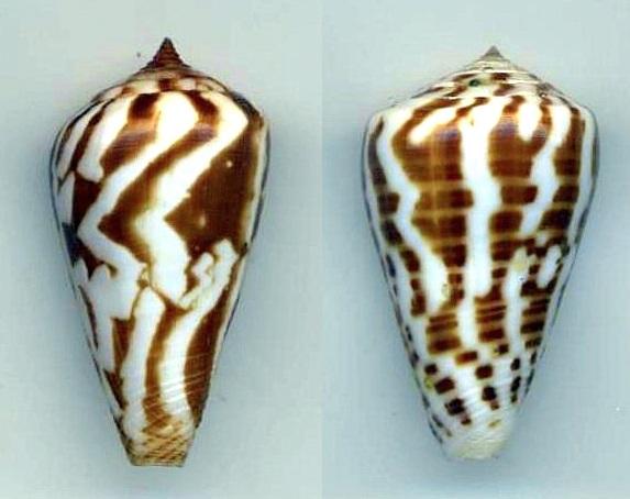Conus (Kalloconus) pulcher f. influençabilis, Alex-Tre   Étrange ressemblance avec genuanus ! Pineau10