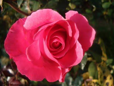 BON ANNIVERSAIRE, Rosedumatin - Page 5 Rose_d11