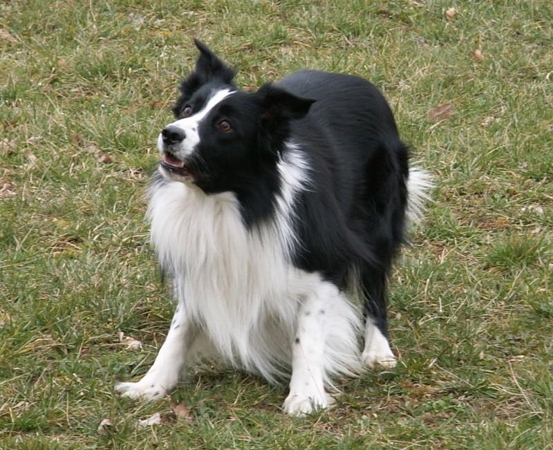 Quelqu'un a-t-il des chiens issus du Mont Kerchouan? - Page 2 Stage_12