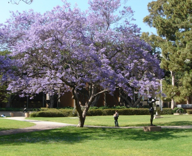 Jacaranda, le plus bel arbre au monde!! Jacara10