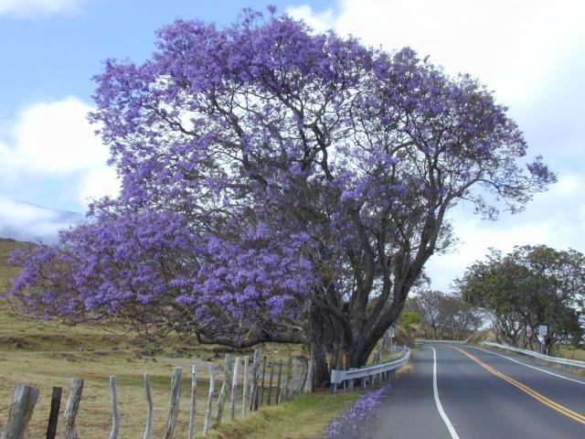 Jacaranda, le plus bel arbre au monde!! Jacara11
