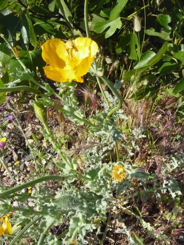 Une Fleur de la Presqu'Ile de Quiberon ? (  Glaucium flavum  ) P1080710