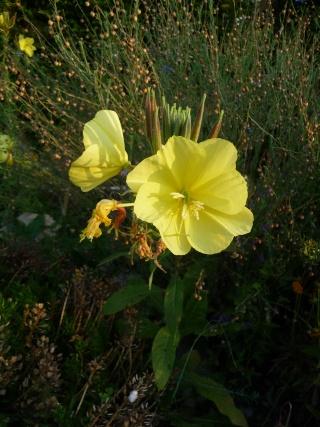 Oenothera biennis  P1090710