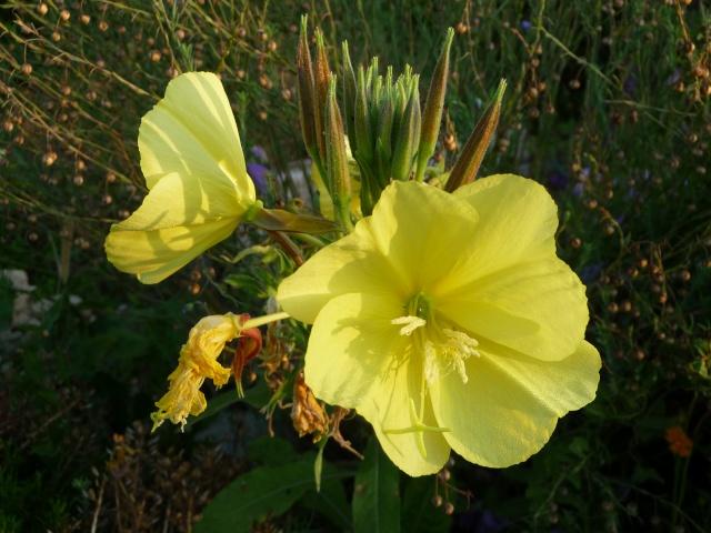 Oenothera biennis  P1090711