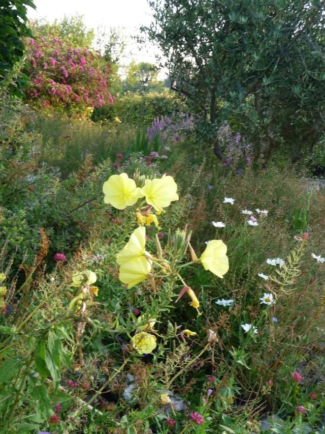 Oenothera biennis  P1090712