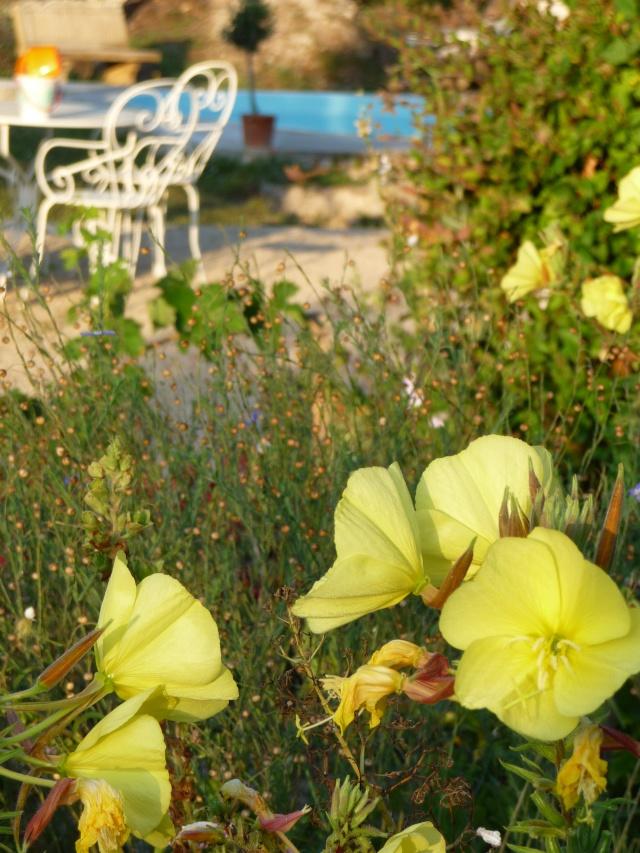 Oenothera biennis  P1090714