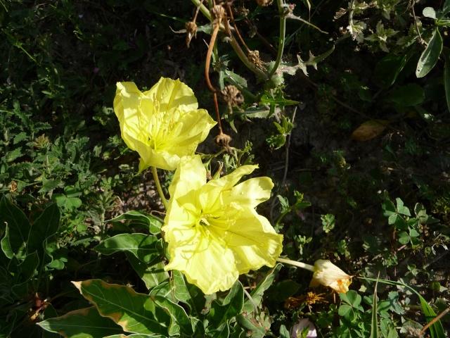 Oenothera biennis  P1090823