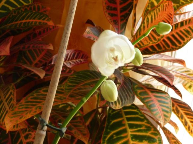 Phalaenopsis - Page 2 P1090828