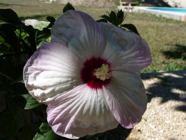 hibiscus a fleur géante:Hibiscus moscheutos cv disco - Page 4 P1100112