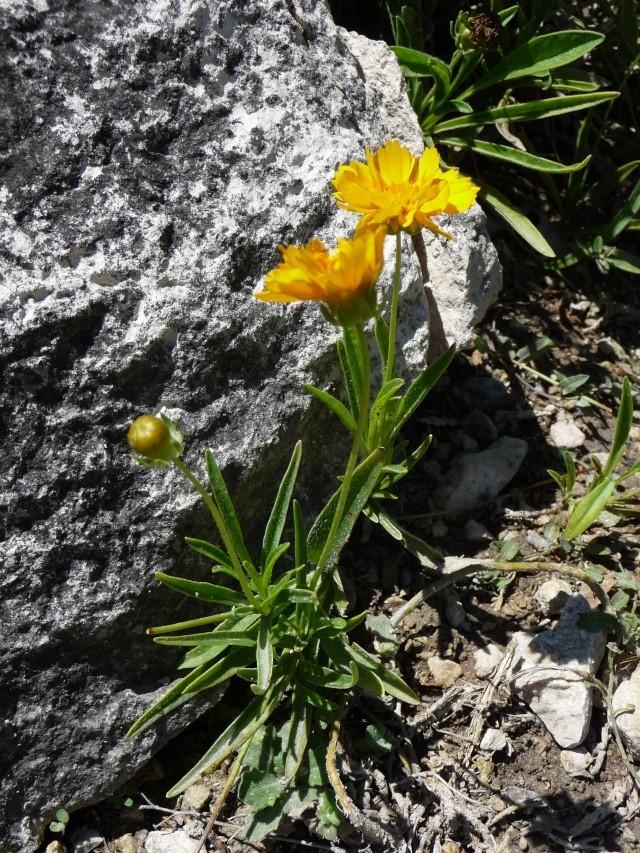 Les Coréopsis P1100116