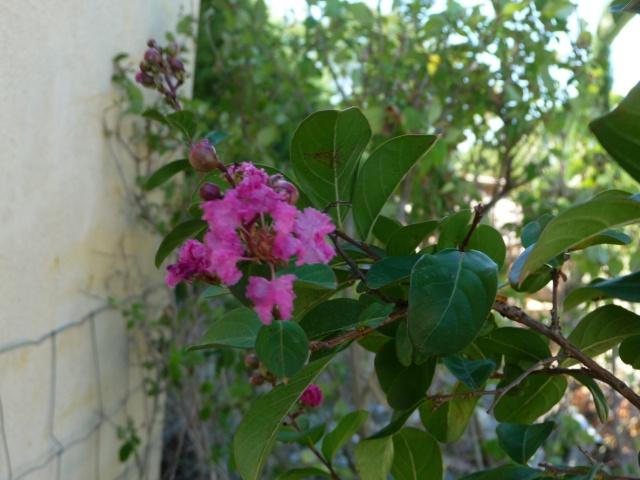 lagerstroemia ou lilas des Indes P1100420