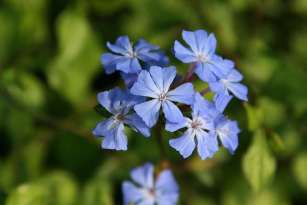"Ceratostigma willmottianum ""Forest blue"" Pl000010"