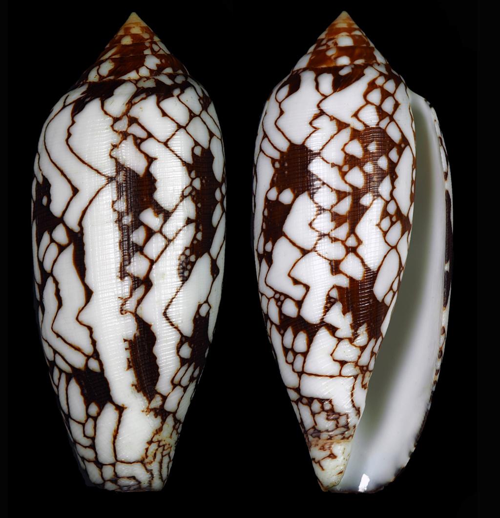 Conus (Darioconus) michelcharlesi (Monnier, Limpalaer & Prugnaud, 2020) 10_d_m10