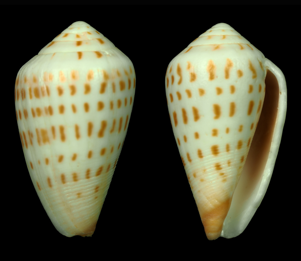 Conus (Sciteconus) mpenjatiensis (S. G. Veldsman, 2016)· accepté alternate representation 4xwm5f10