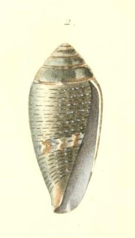 Conus (Lautoconus) bruguieresi    Kiener, 1846 - Page 2 Captur20