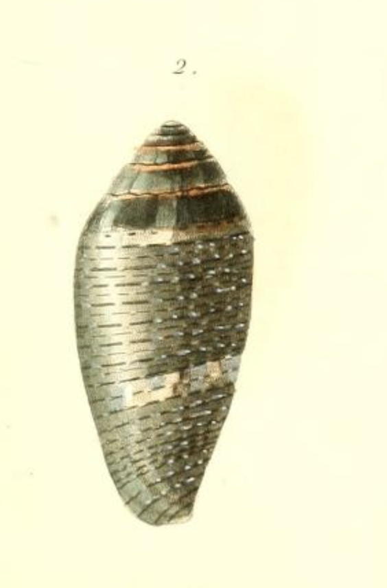 Conus (Lautoconus) bruguieresi    Kiener, 1846 - Page 2 Captur21