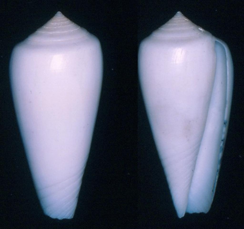 Conus consors f. anceps A. Adams, 1854 Captur22