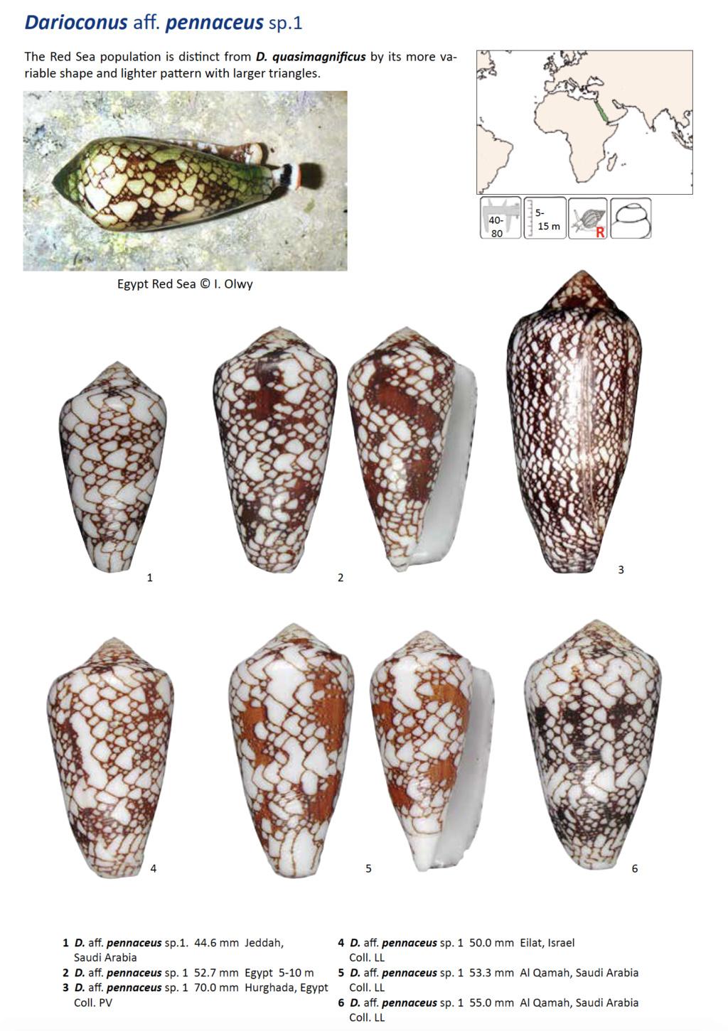 Darioconus aff. pennaceus de Djibouti Captur23