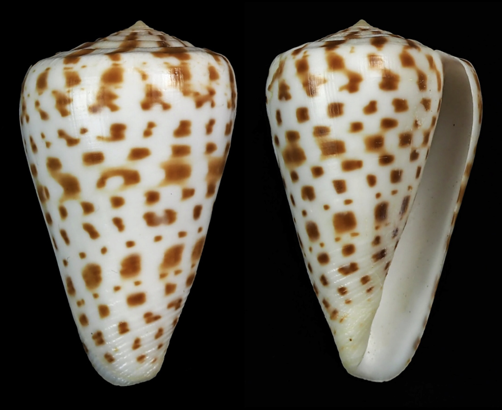 Conus (Kalloconus) pulcher [Lightfoot], 1786 - juvénile Captur30