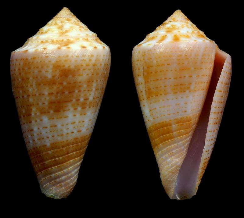 Conasprella (Ximeniconus) ericmonnieri (Petuch & R. F. Myers, 2014) Conus_10