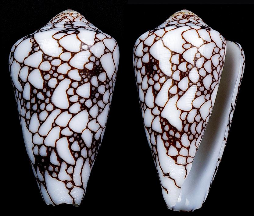 Darioconus aff. pennaceus de Djibouti Darioc14