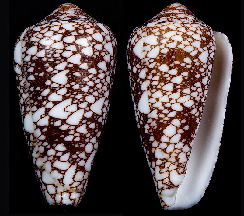 Darioconus aff. pennaceus de Djibouti Darioc15